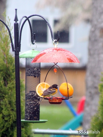 #FeedtheBirds: Should you separate the oriole feeders from seed feeders?