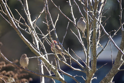 three house finches in crab apple tree