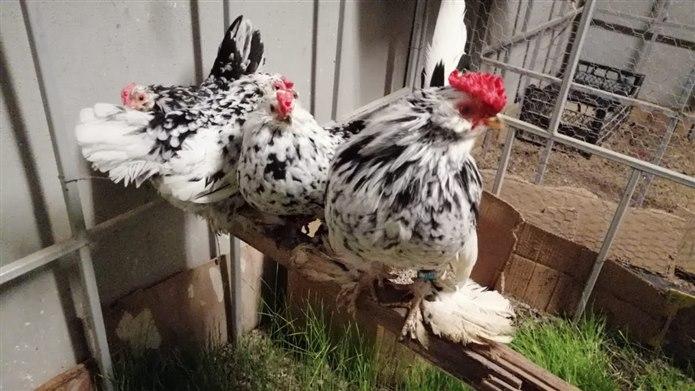 İspenç Tavuğu / Yerli tavuk cinsleri