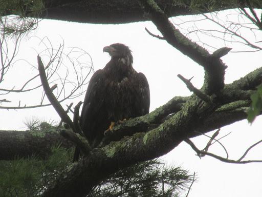 Assabet Eaglet 7/19
