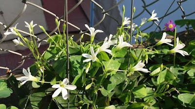 chua me đất - oxalis hoa trắng
