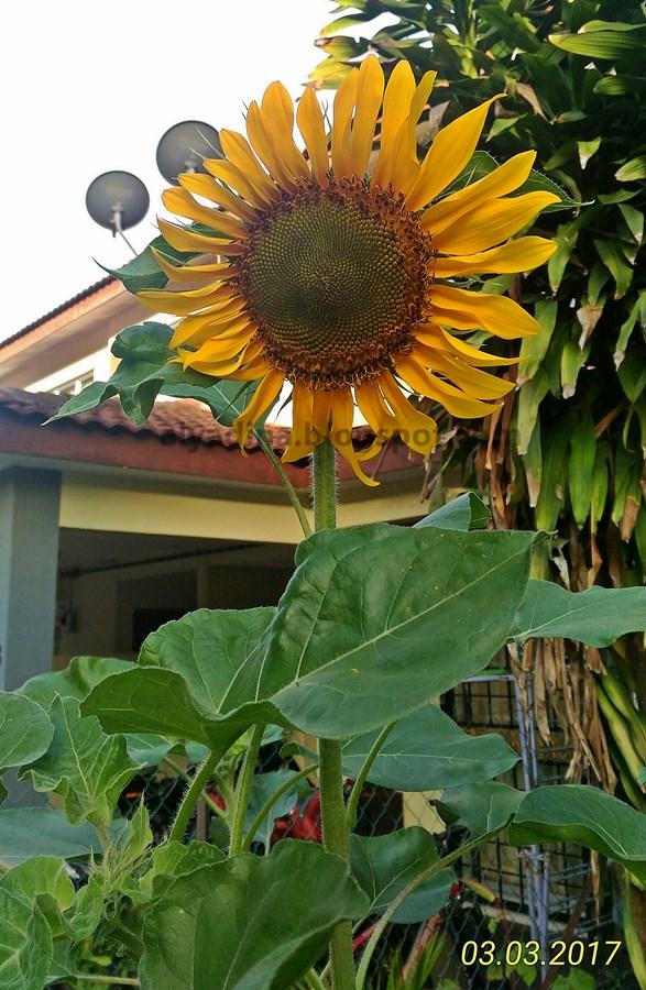 Bunga Matahari Cantik