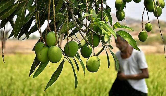 Cara Agar Pohon Mangga Berbuah