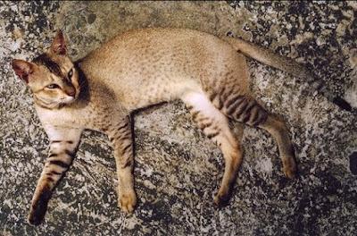 Kucing Bahraini Dilmun