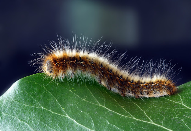 Benefits of Caterpillar Fungus, and Home Remedies