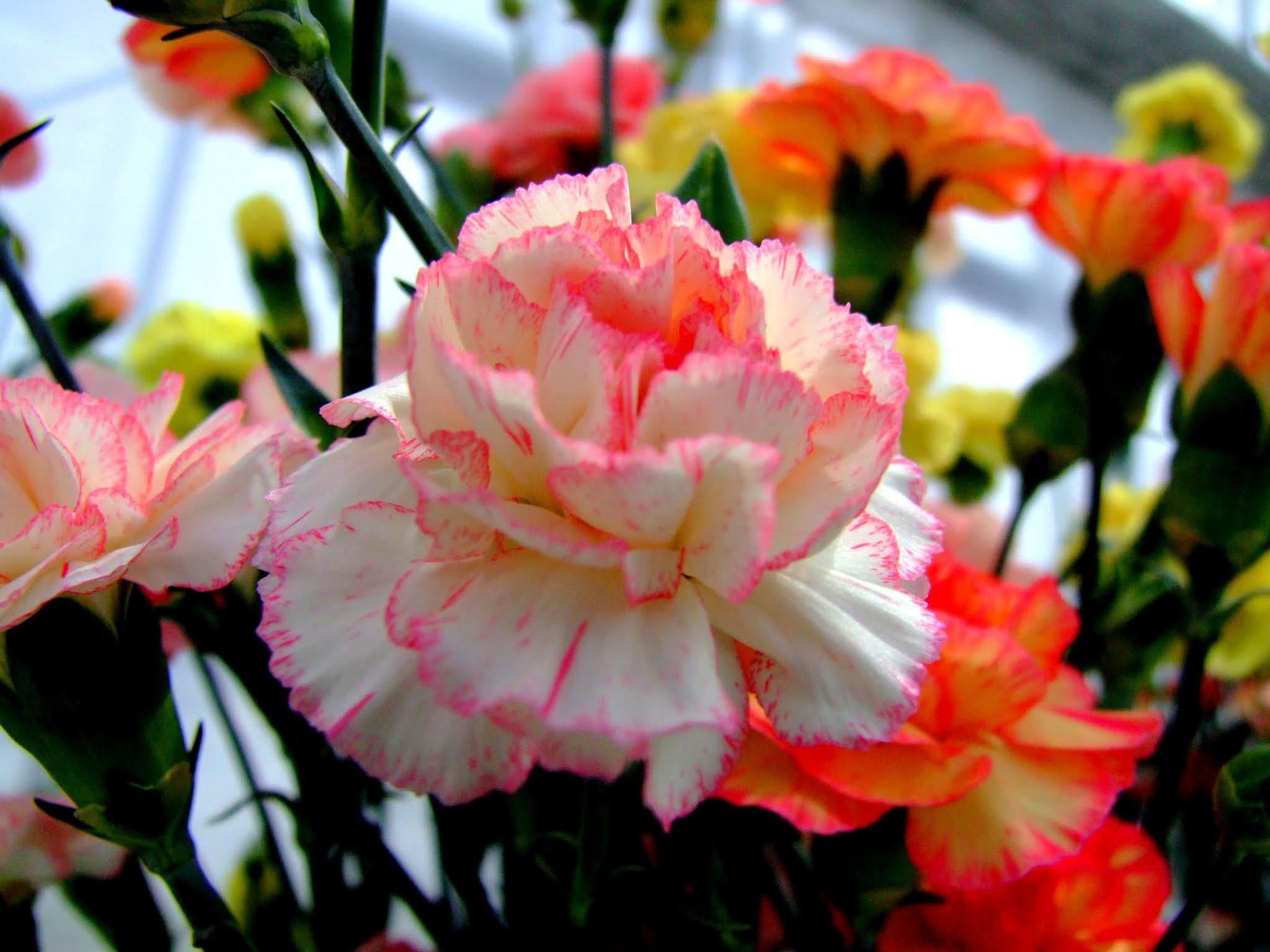 白とピンクの色合いが可愛いカーネーションの写真素材です。白のカーネーションは母の日に不向きと聞いたことがありますが、白とピンクだとどうなんでしょうね。