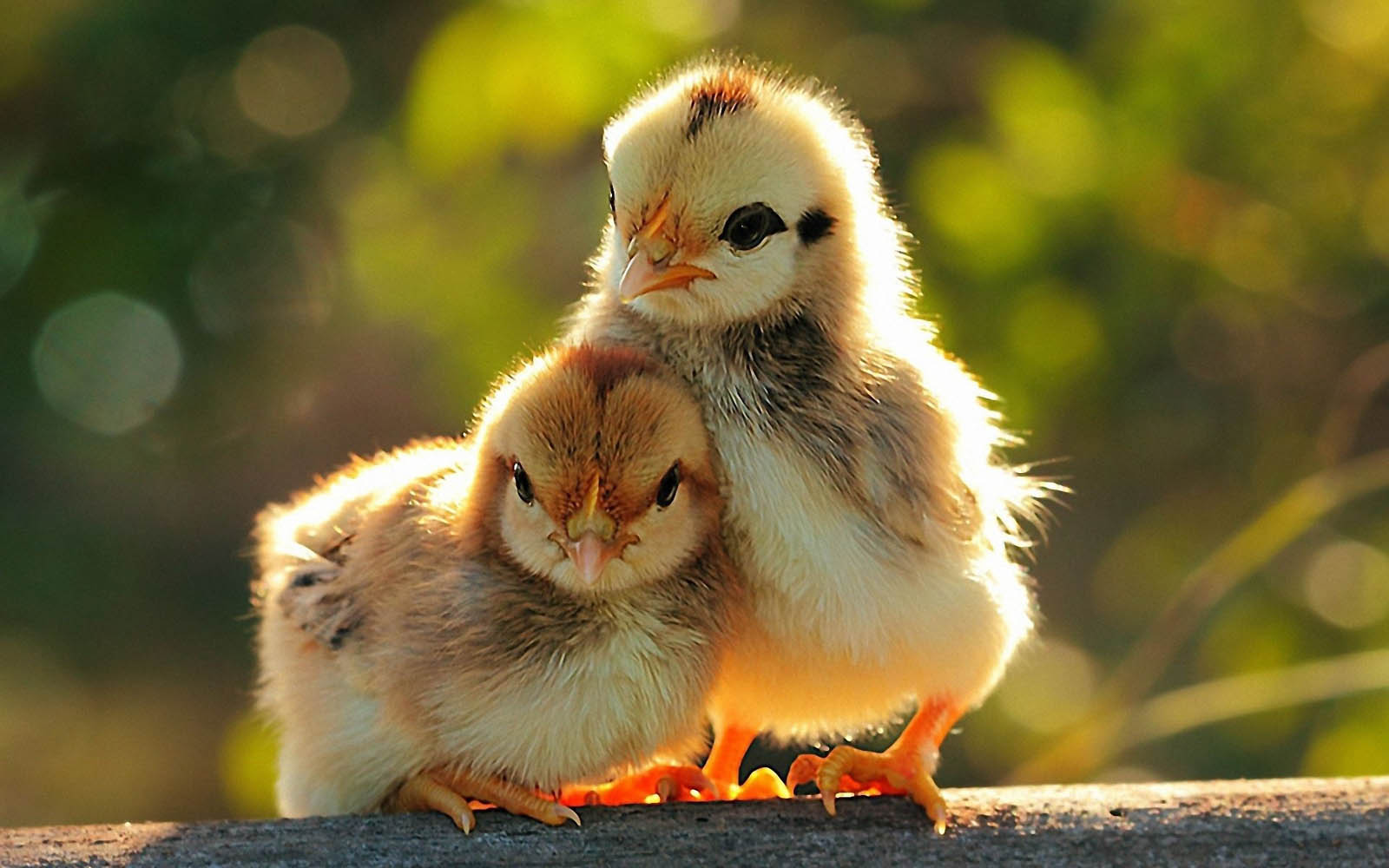 wallpapers  funny chicks wallpapers