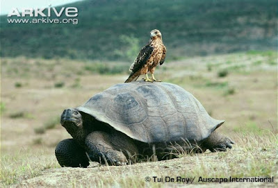 Galapagos Hawk and giant turtle