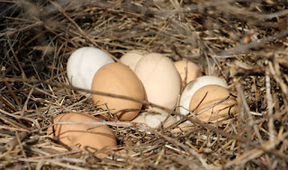 The eggs which the birds had hidden from us