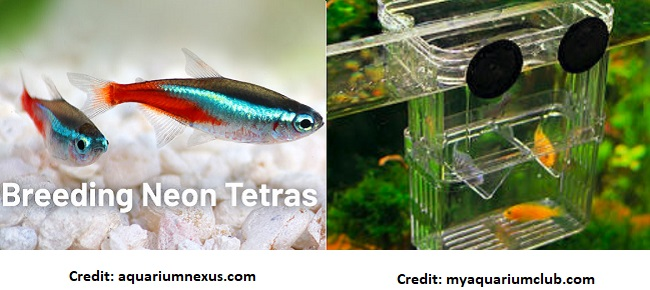 How To Breed Neon Tetra