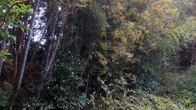 谷津対岸の竹林