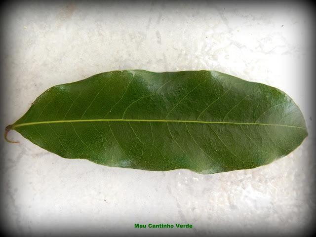 Folha do OITI - (Licania tomentosa)