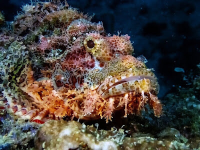 Gambar Scorpion Fish