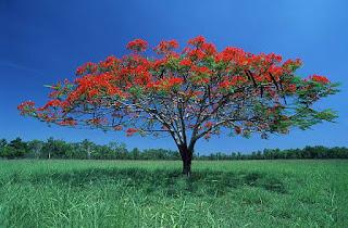 Gambar Bunga Akasia yang Indah 22