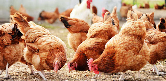 6 Bright Ideas in Poultry Farming