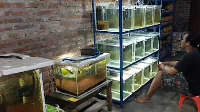 Pemuda Megulunglor Sukses Raup Untung dari Budidaya Ikan Guppy