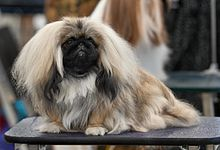 Pekingese toy dog general appearance