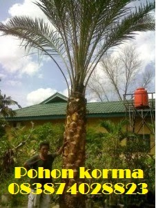 Pohon-korma-2-meter-batang-keras