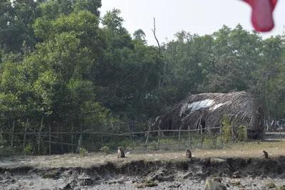 Three monkeys in the Sundarbans