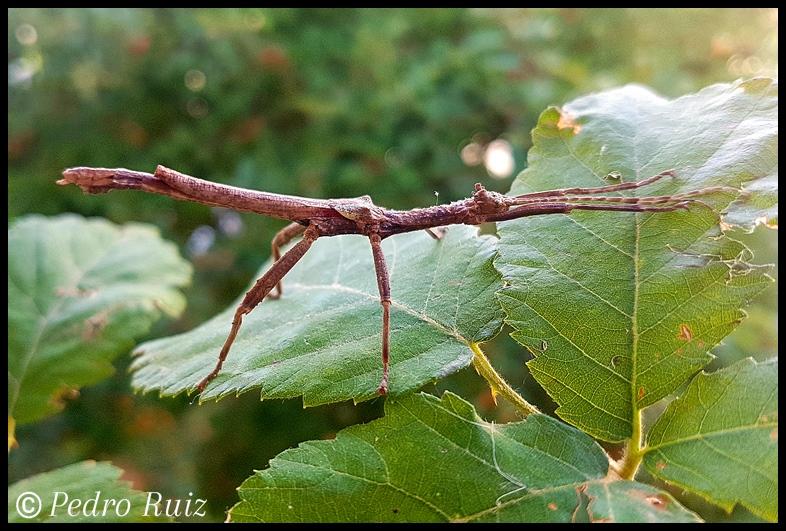 """Macho adulto de Hesperophasma sp. """"La Cienaga"""", 5 cm de longitud"""