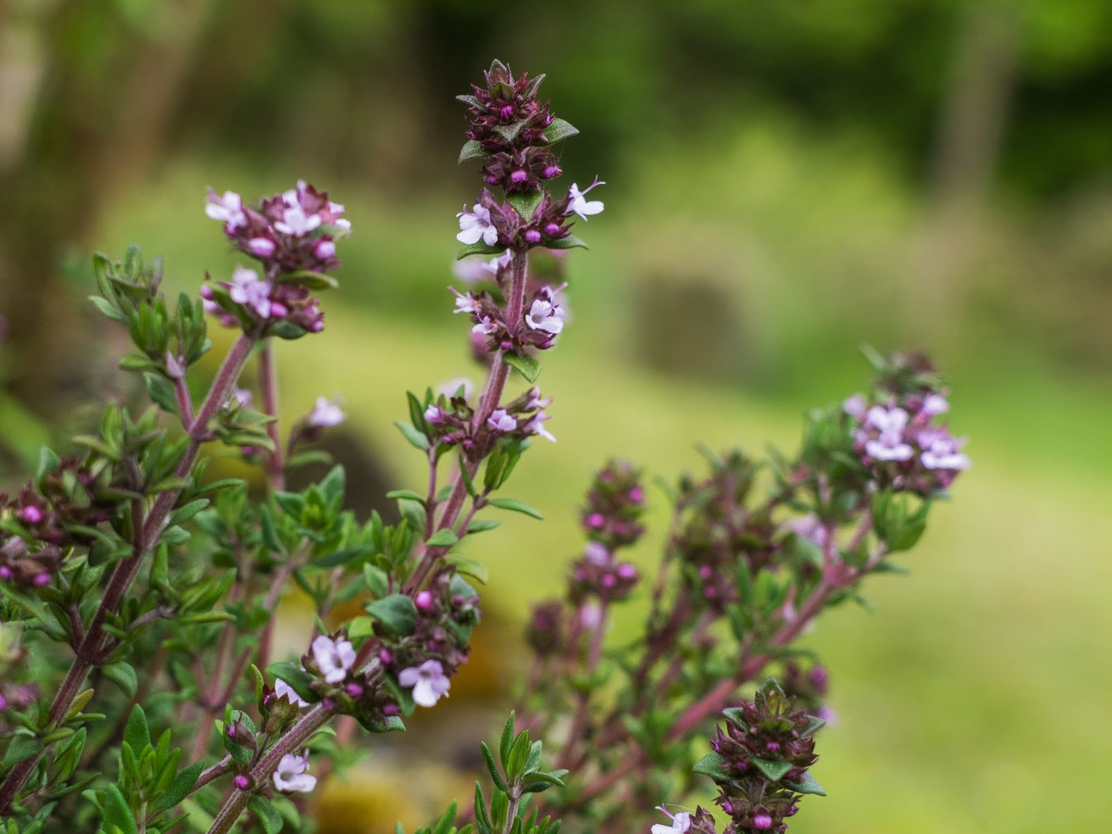 A close up of tiny lilac Thyme flowers.
