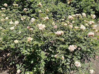 Photo of pale pink roses