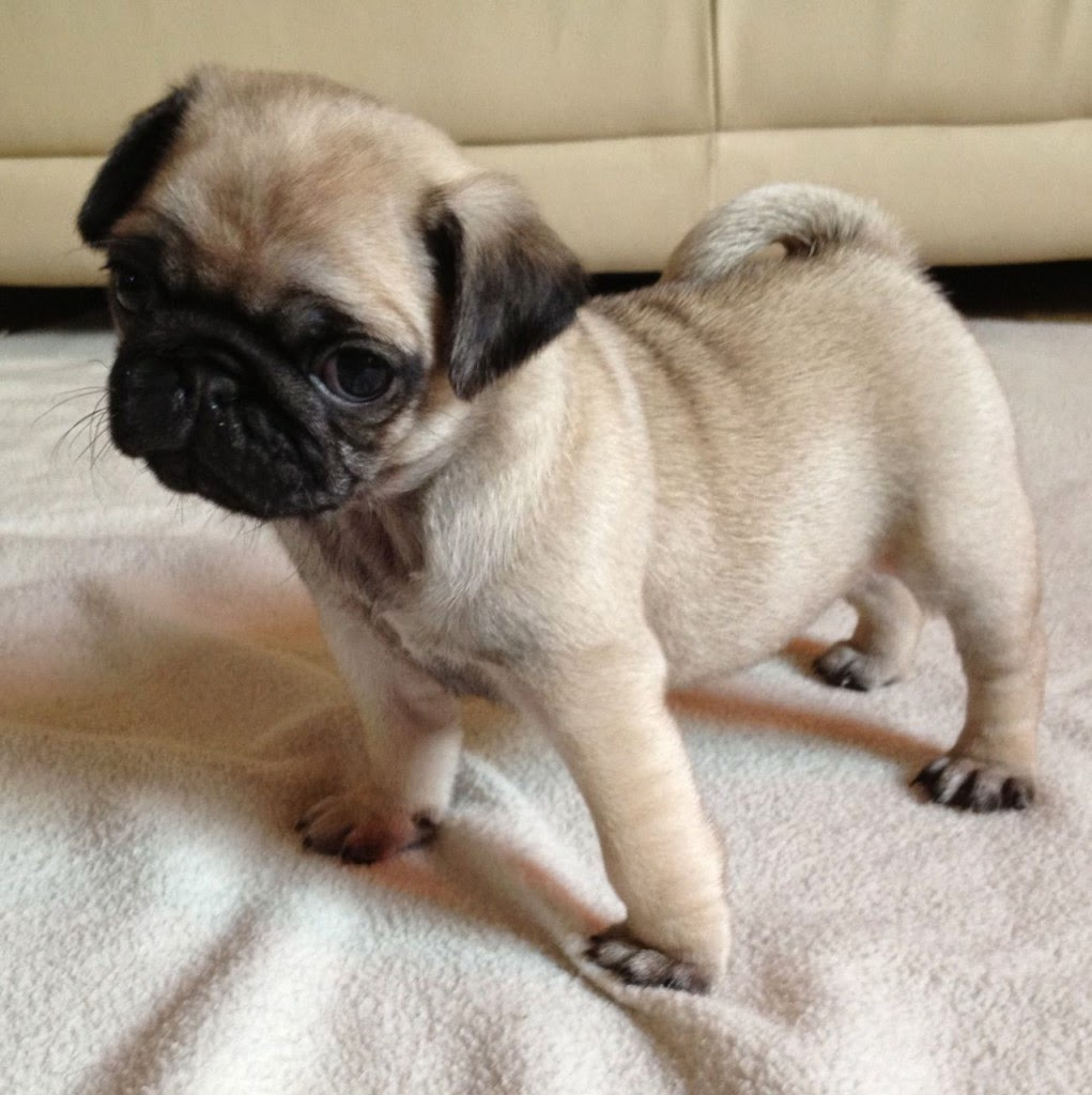 Baby Black Pug Puppies Pug Puppies Rescue Pictures