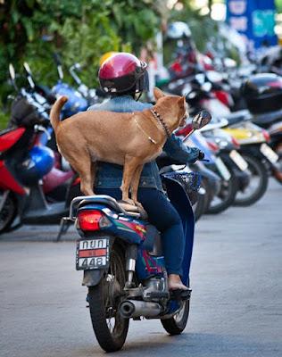 Собака на заднем сидении мопеда
