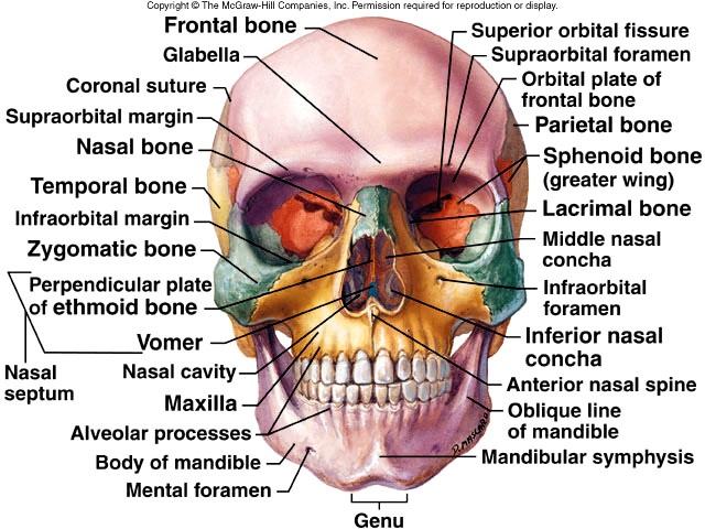 Anatomy Of Facial Bones