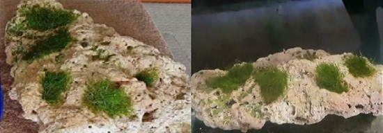 Lower rock with moss in aquarium