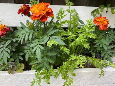 Marigolds growing in a white painted planter in the garden
