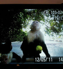 DEC 2012 the monkeys in Costa Rica