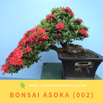 Bonsai Asoka (002)