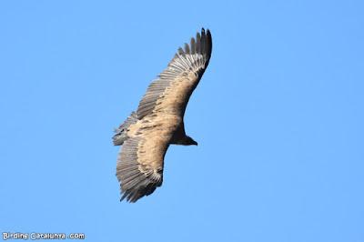 Vista superior del voltor comú