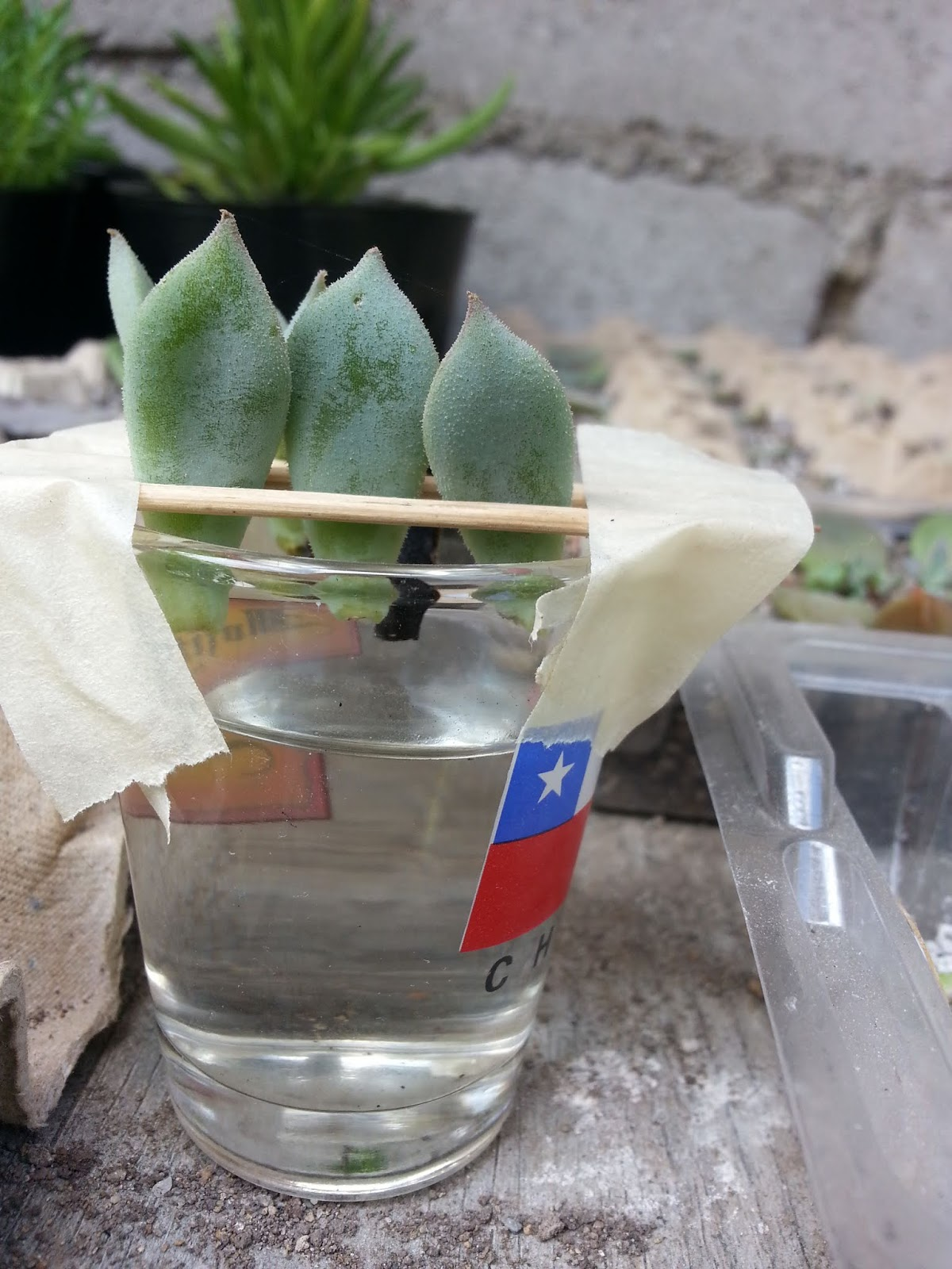 Succulent Water Propagation Success Some Succoholic Series 11