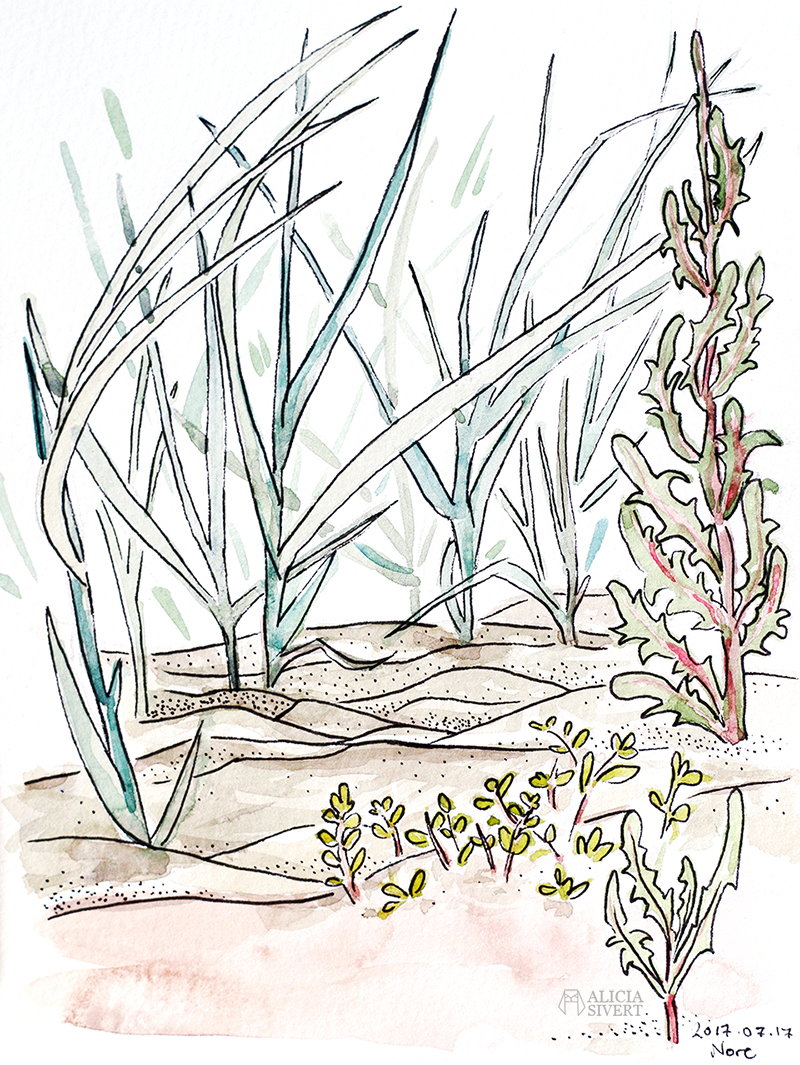 aliciasivert alicia sivert sivertsson akvarell aquarelle watercolour watercolor water color colour vattenfärg friluftsmåleri måla målning målningar konst paint painting art paintings gotland strand vass sandstrand beach common reed