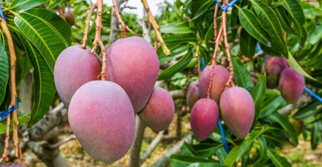 7 mangoes, 4 guards and 6 dogs for security; 'Miyazaki' worth Rs 2.5 lakh!