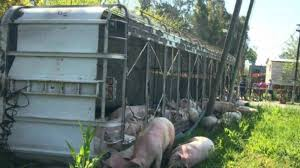 Un camión que transportaba cerdos se volcó, y las personas,  degollaron a los cerdos en plena calle