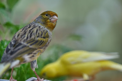 Kumpulan Wallpaper Burung Kenari yang Indah