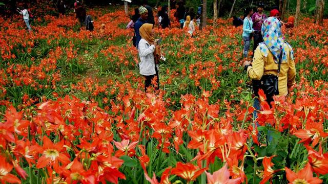Taman Bunga Amaryllis Gunung Kidul