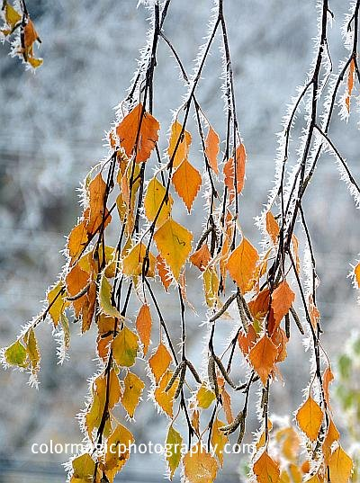 Hoar frost on tree branches and autumn leaves.