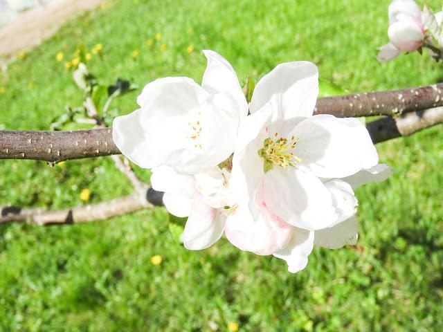 viikkokatsaus, kesä, omenapuu,