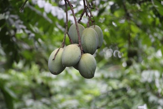 Raw Mango Health Benefits