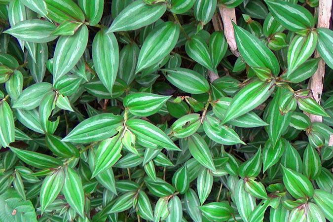 Dlium Inchplant (Tradescantia zebrina)