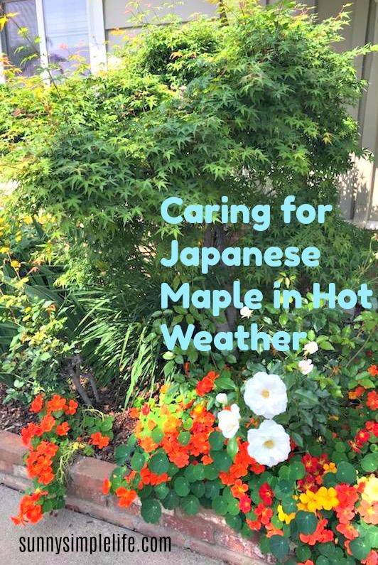 naturtiums, hot weather gardening