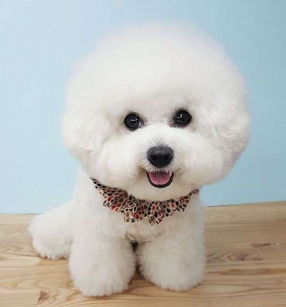 Cute smiling bichon frise