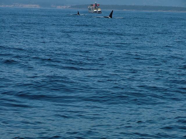 Killer Whales in Haro Strait