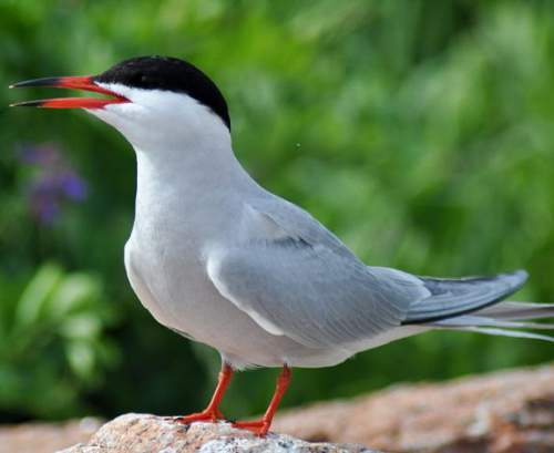 Indian birds - Photo of Common tern - Sterna hirundo