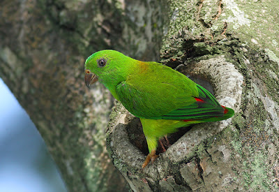 Small parrot species