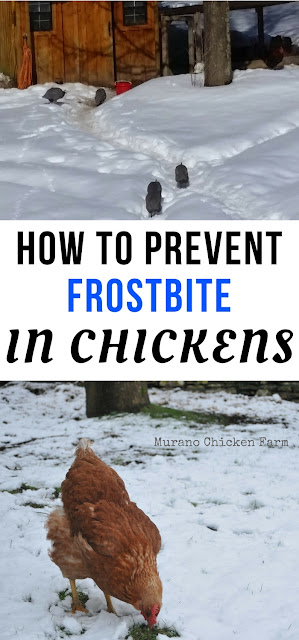 preventing frostbite | chickens